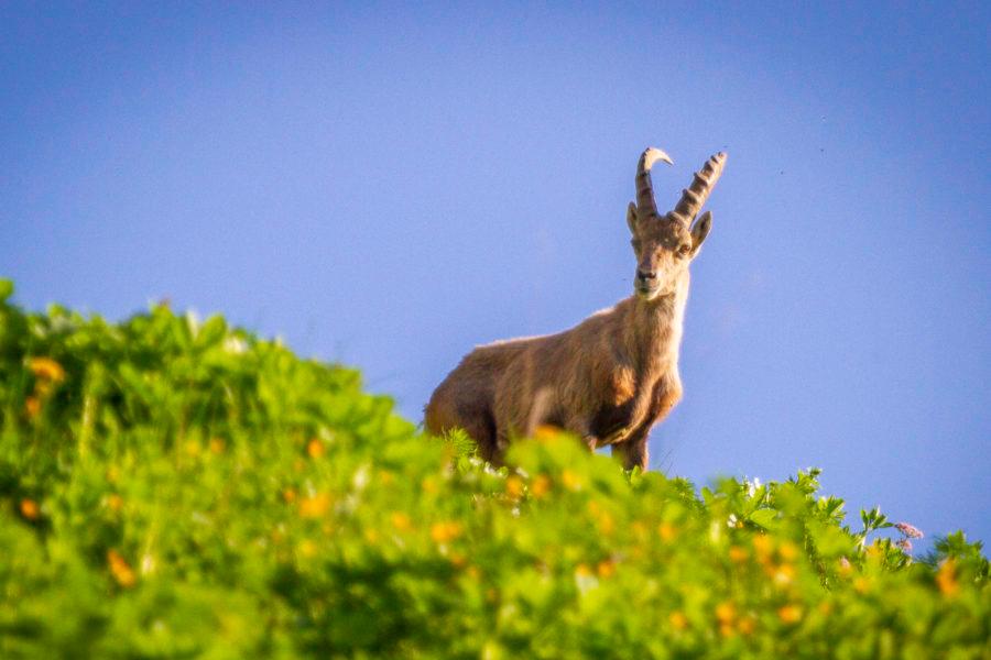 Chèvres debout sur la colline